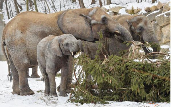 Elefanten verspeisen Tiroler Fichte zum Frühstück